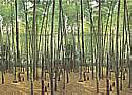 Bamboo Grove 1801 Large Wall Murals