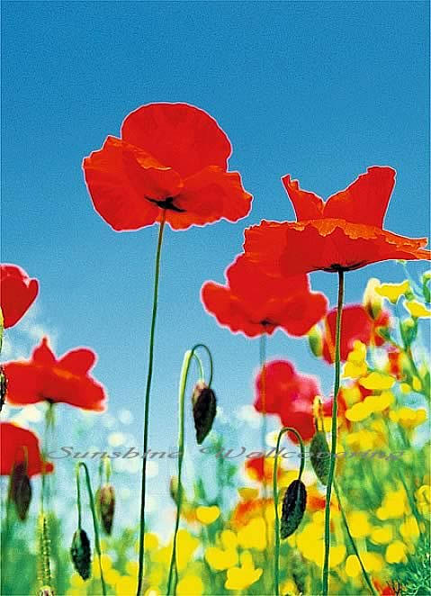 Poppy Field 371 Mural by Ideal Decor