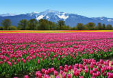 Tulips Wall Mural DM137