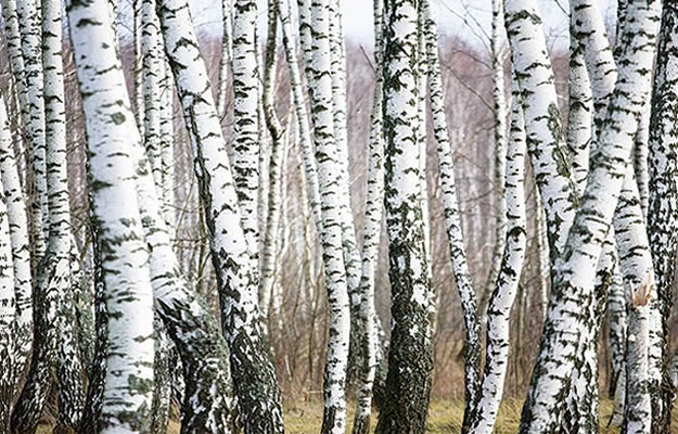 Birch forest wall mural umb91075 for Birch tree forest wall mural