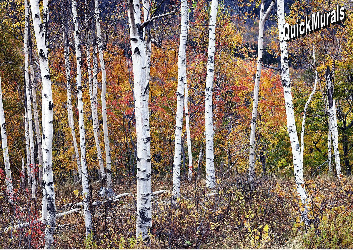 Birch forest wall mural for Birch tree forest wall mural