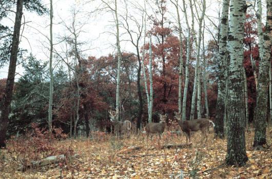 Deer wall murals