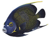 Walls of the Wild French Angelfish