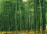 Bamboo Plantation Japan Wall Mural