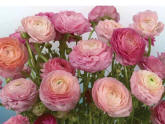 Buttercaps Blooms Roses Wall Mural DS8056