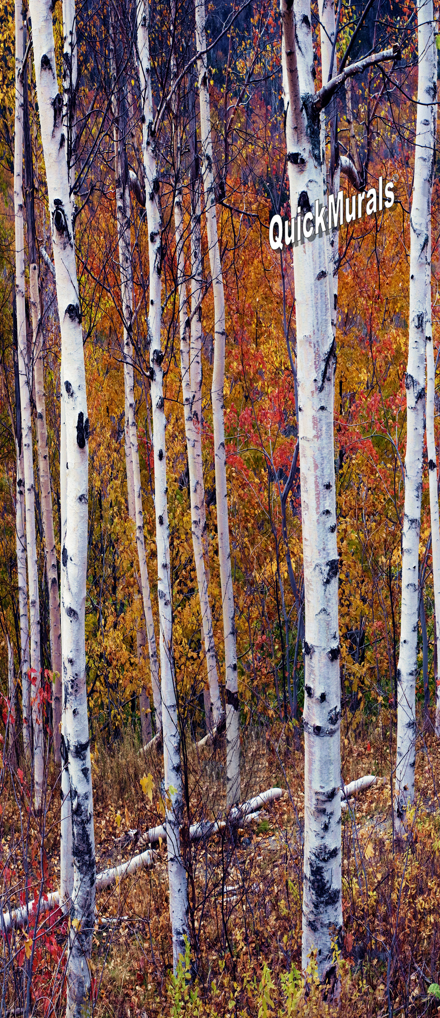 28 autumn birch tree forest wall autumn birch tree for Birch trees wall mural