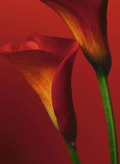 Red Calla Lilies 406 Wall Mural by Ideal Decor