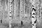 Birch Forest by Komar