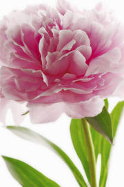 Pink Peony Wall Mural 651 by Ideal deco