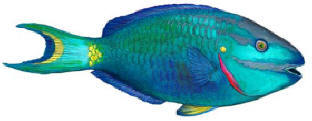 Walls of the Wild Parrotfish