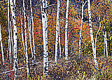 Birch Forest  Peel and Stick Wall Murals
